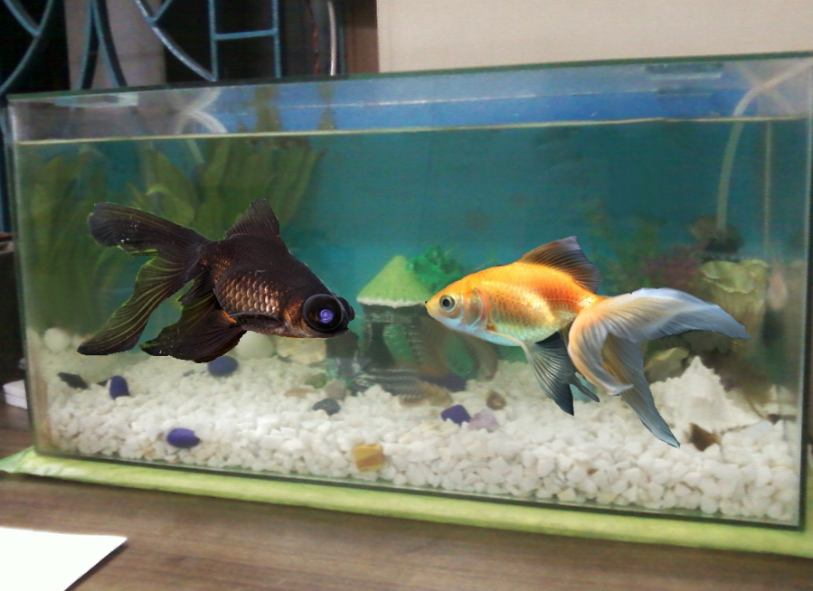 Black moor goldfish tank for Fish tank for goldfish